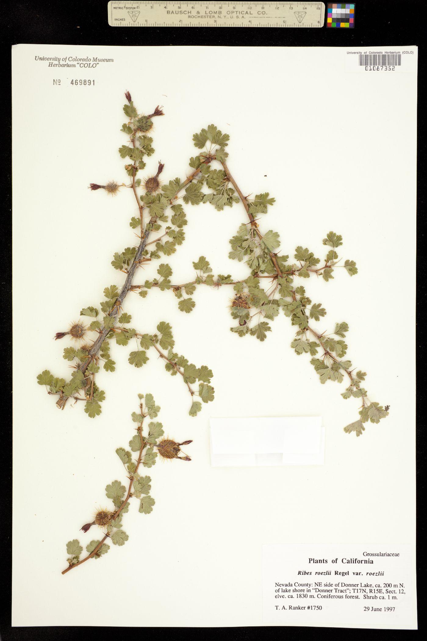 Ribes roezlii image