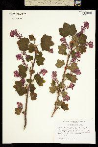 Ribes sanguineum image
