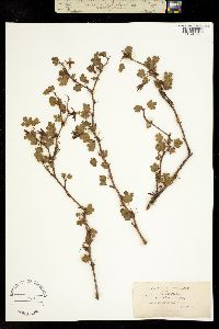 Image of Ribes amictum