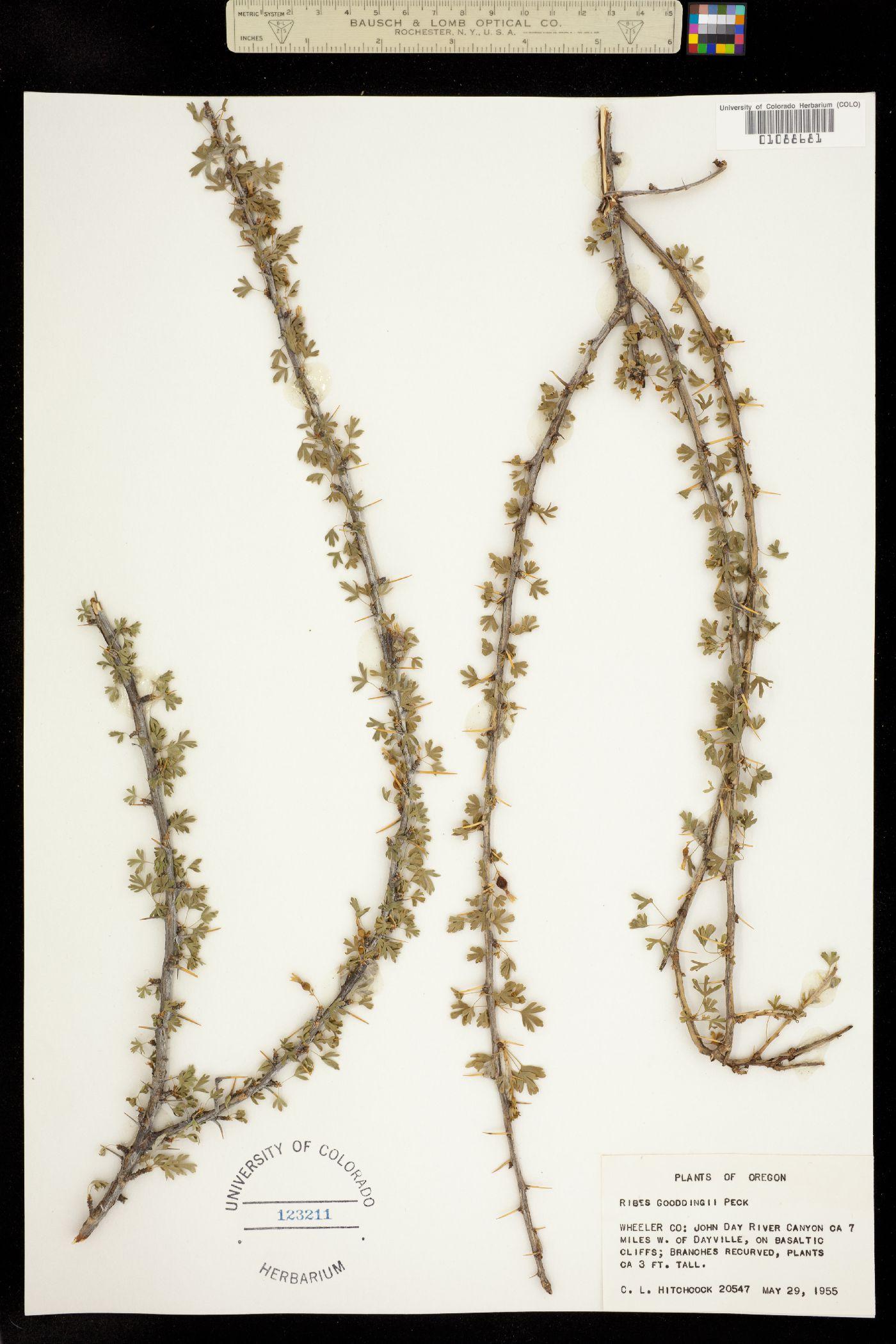Ribes gooddingii image