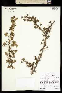Ribes quercetorum image