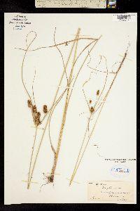 Cyperus dipsaceus image
