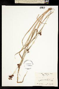 Image of Rhynchospora caduca