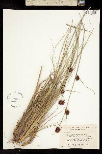 Image of Rhynchospora cephalantha