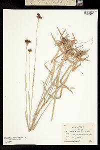 Image of Rhynchospora ciliaris