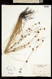 Image of Rhynchospora chalarocephala