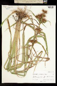 Image of Rhynchospora corniculata