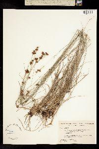 Image of Rhynchospora fascicularis