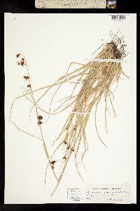 Image of Rhynchospora glomerata