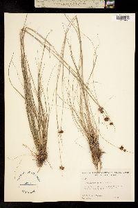 Image of Rhynchospora gracilenta