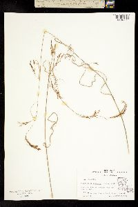 Image of Rhynchospora inexpansa