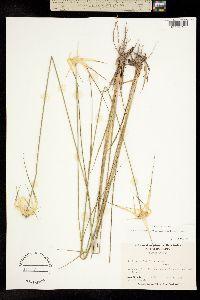 Image of Rhynchospora latifolia
