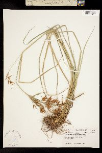 Image of Rhynchospora macrostachya