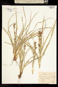 Image of Rhynchospora megalocarpa