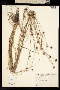 Image of Rhynchospora microcephala