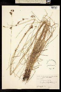 Image of Rhynchospora perplexa