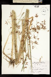 Image of Rhynchospora careyana