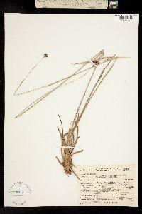 Image of Rhynchospora baldwinii