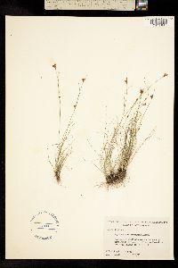 Image of Rhynchospora divergens