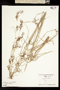 Image of Rhynchospora decurrens