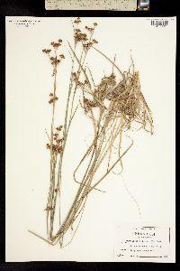 Image of Rhynchospora harveyi