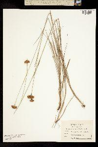Image of Rhynchospora macra