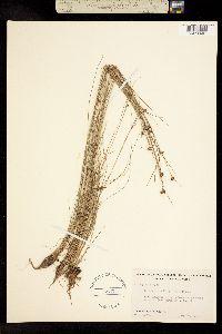 Image of Rhynchospora wrightiana