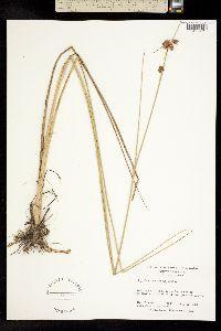 Image of Rhynchospora tracyi