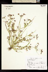 Image of Rhynchospora scirpoides