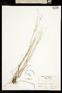 Image of Rhynchospora rariflora