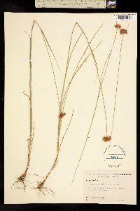 Image of Rhynchospora pallida