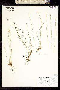 Image of Trichophorum alpinum