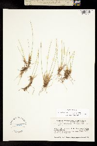 Image of Trichophorum cespitosum