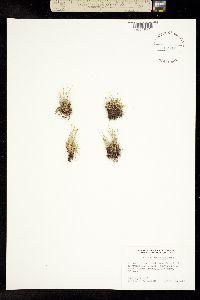 Image of Trichophorum clementis