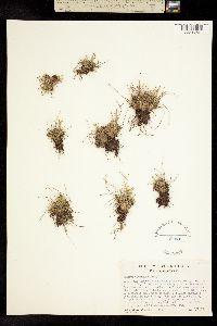 Trichophorum clementis image