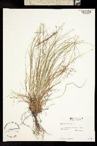 Image of Trichophorum planifolium