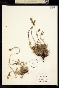 Acaena californica image