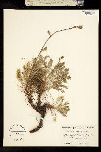 Image of Acaena californica
