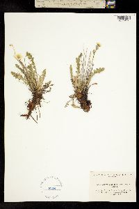 Acomastylis rossii image