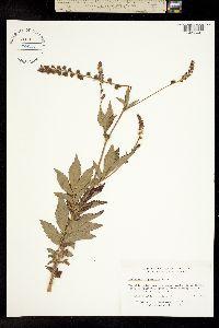 Image of Agrimonia gryposepala