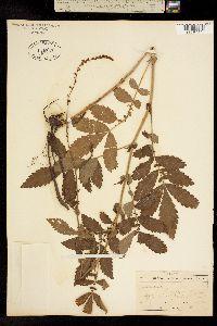 Image of Agrimonia parviflora