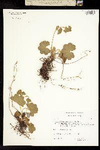 Alchemilla filicaulis image