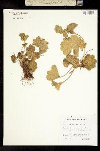 Alchemilla glomerulans image