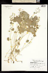 Image of Alchemilla gracilis
