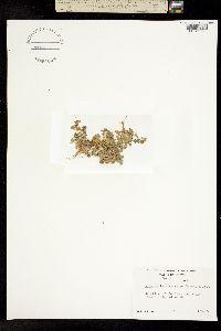 Image of Aphanes microcarpa
