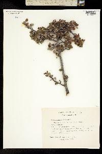 Image of Amelanchier denticulata