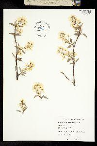 Image of Amelanchier intermedia