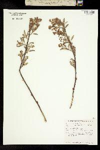 Image of Amelanchier nantucketensis