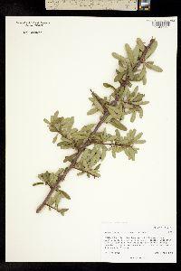 Image of Cotoneaster koidzumii