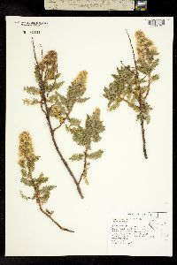 Image of Chamaebatiaria millefolium